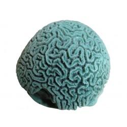 Large corail cerveau